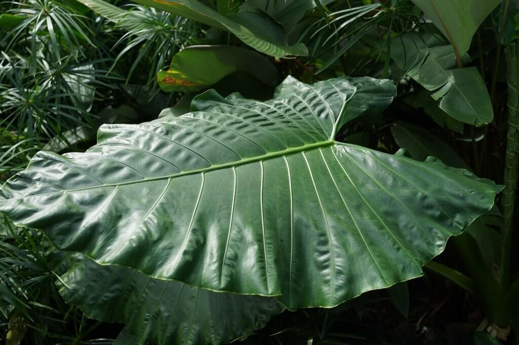 Large Forest Leaf Yam Taro Plant  - SpencerWing / Pixabay